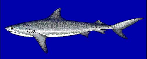 Tiger Shark   Galeocerdo cuvier photo