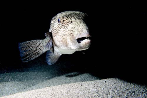 Starry Pufferfish | Arothron stellatus photo
