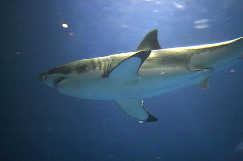 [Image: Great-white-shark-2.jpg]