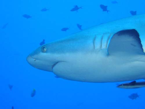 Grey Whaler Shark | Carcharhinus amblyrhynchos photo