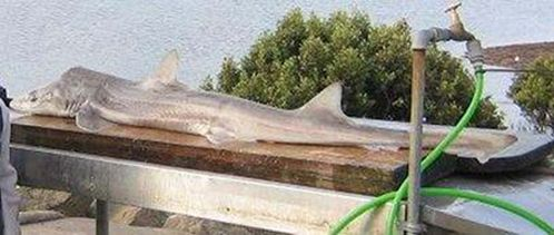Gummy Shark   Mustelus antarcticus photo