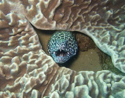 Tessellate Moray | Gymnothorax favagineus photo