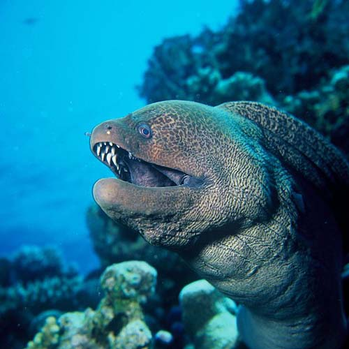 Giant Moray | Gymnothorax javanicus photo