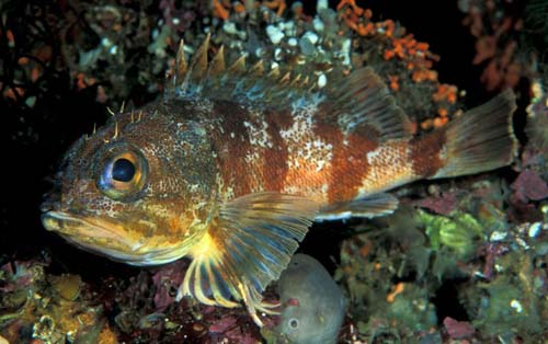 Reef Ocean Perch | Helicolenus percoides photo