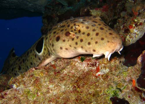 Epaulette Shark | Hemiscyllium ocellatum photo
