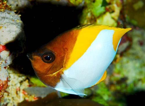 Pyramid Butterflyfish | Hemitaurichthys polylepis photo