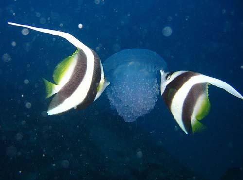 Longfin Bannerfish | Heniochus acuminatus photo