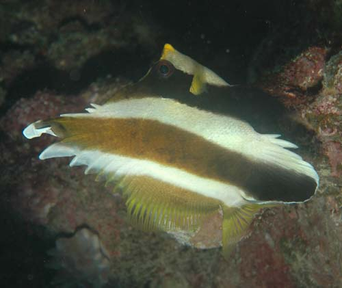 heniochus fishes in ocean habitat