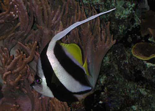 Schooling Bannerfish | Heniochus diphreutes photo