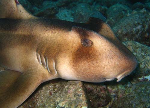 Crested Horn shark | Heterodontus galeatus photo