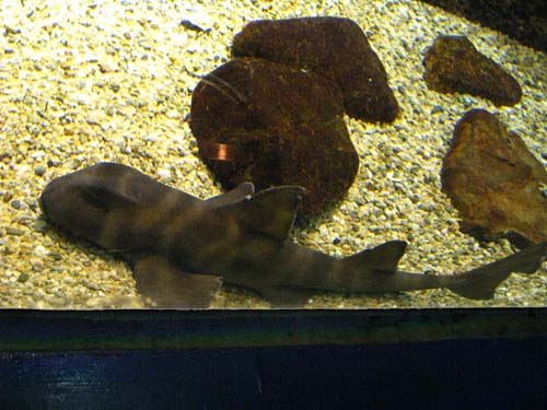 Japanese Bullhead Shark | Heterodontus japonicus photo