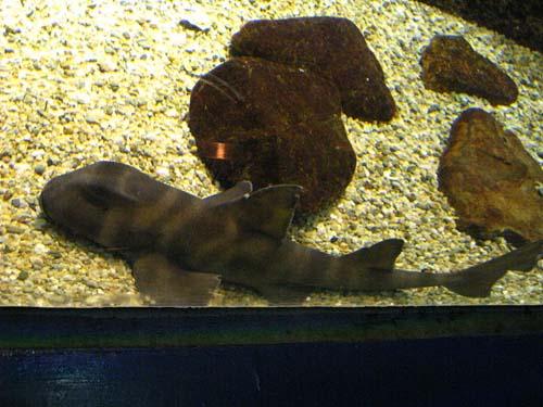 Japanese Bullhead Shark | Heterodontus japonicus photo
