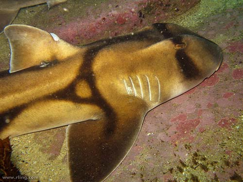 Port Jackson Shark | Heterodontus portusjacksoni photo