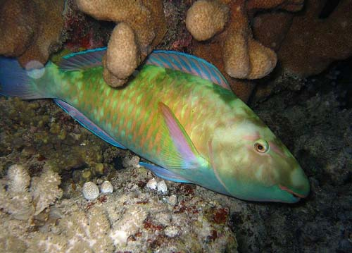 Pacific Longnose Parrotfish | Hipposcarus longiceps photo