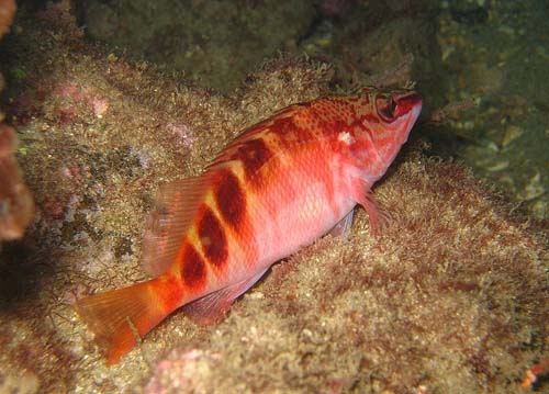 Half-banded Seaperch | Hypoplectrodes maccullochi photo