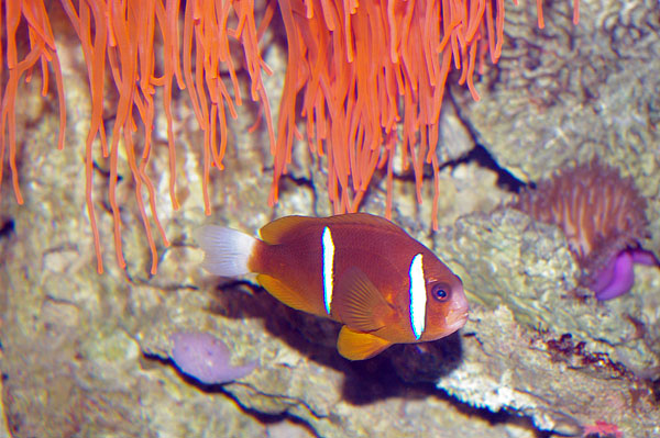 Clark's Anemonefish | Amphiprion clarkii photo