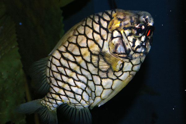 Pineapplefish | Cleidopus gloriamaris photo