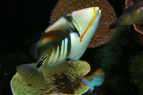 Hawaiian Triggerfish | Rhinecanthus aculeatus photo