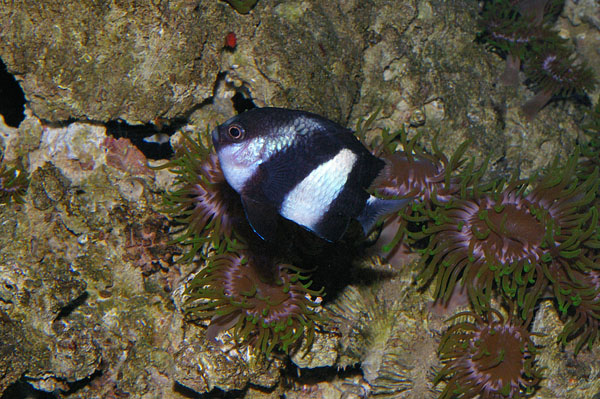 Humbug | Dascyllus aruanus photo