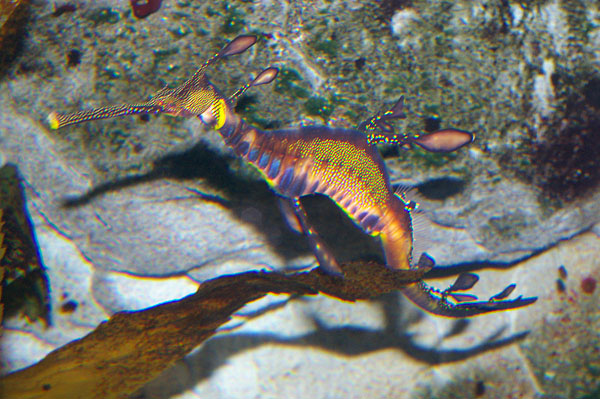 Weedy Seadragon | Phyllopteryx taeniolatus photo