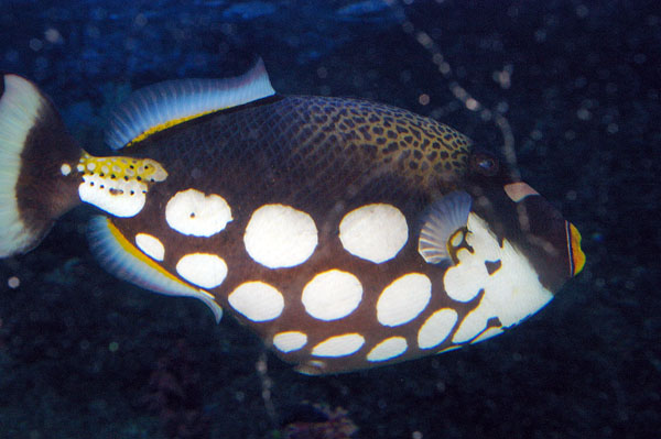 Clown Triggerfish | Balistoides conspicillum photo