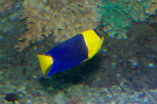 Bicolor Angelfish | Centropyge bicolor photo