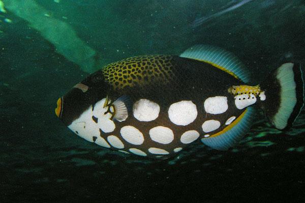Clown Triggerfish | Balistoides conspicillum photo