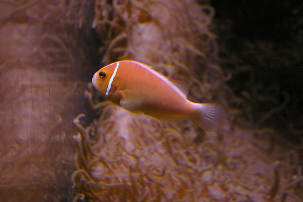 Pink Anemonefish | Amphiprion perideraion photo