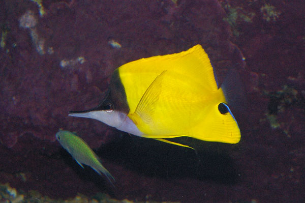 Forcepsfish | Forcipiger flavissimus photo