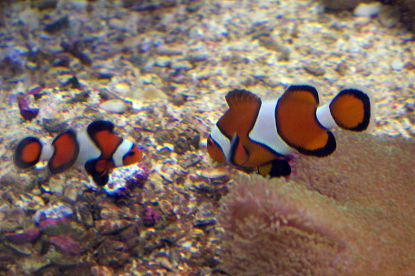 Clown Anemonefish (Clownfish) | Amphiprion percula photo