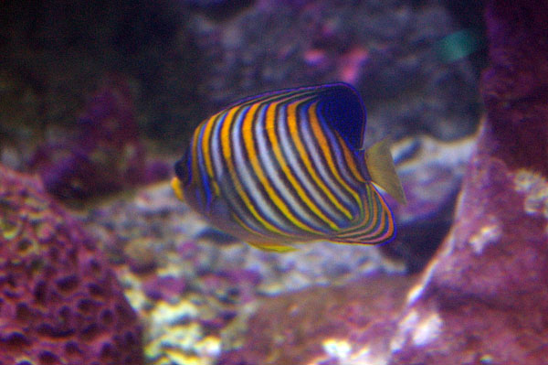 Regal Angelfish | Pygoplites diacanthus photo