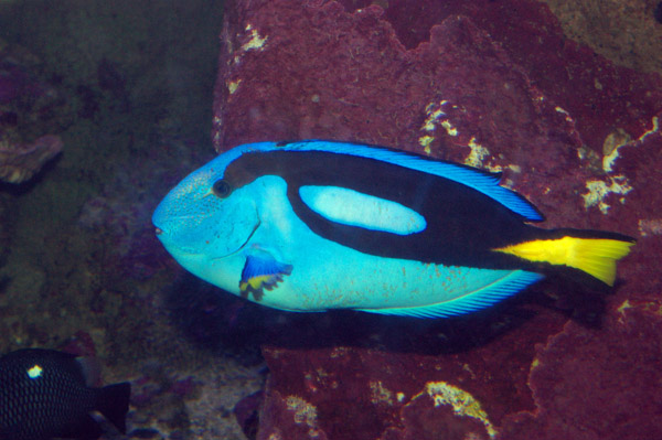 Blue Tang | Paracanthurus hepatus photo
