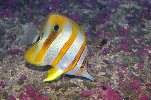Beaked Coralfish | Chelmon rostratus photo