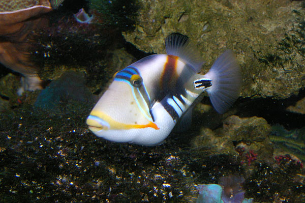 Hawaiian Triggerfish | Rhinecanthus aculeatus photo