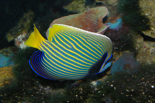 Emperor Angelfish | Pomacanthus imperator photo