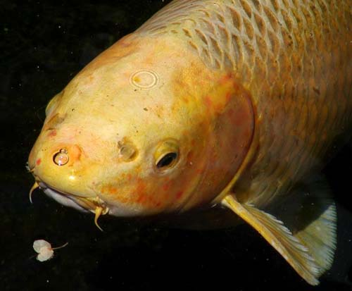 Carp cyprinus carpio for Koi fish australia
