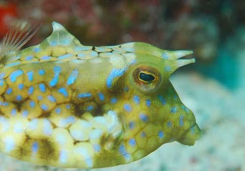 Thorny-back Cowfish | Lactoria fornasini photo