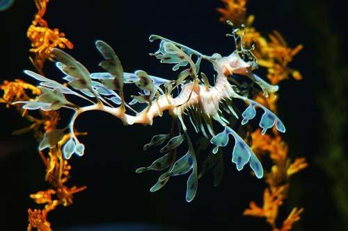 Leafy Seadragon | Phycodurus eques photo