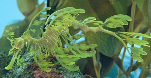 Leafy Seadragon | Phycodurus eques photo