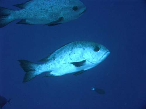 Black and White Snapper | Macolor niger photo