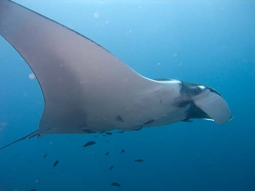 Manta Ray | Manta birostris photo
