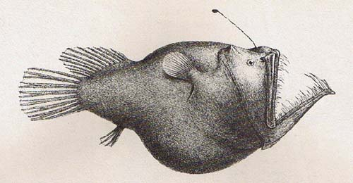 Murray's Abyssal Anglerfish | Melanocetus murrayi photo