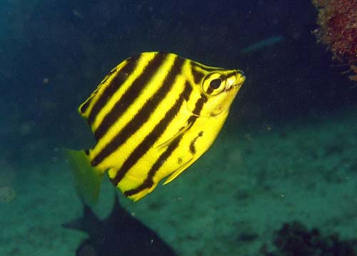 Stripey | Microcanthus strigatus photo