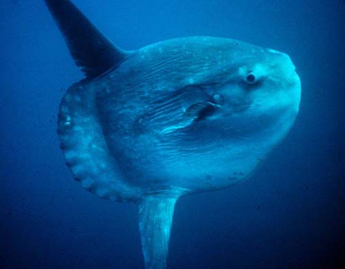 Ocean Sunfish | Mola mola photo