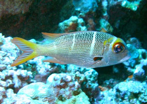 Humpnose Big-eye Bream | Monotaxis grandoculis photo