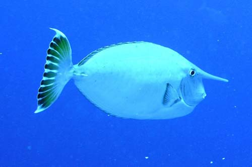 Whitemargin Unicornfish | Naso annulatus photo