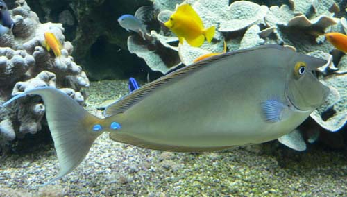 Bluespine Unicornfish | Naso unicornis photo