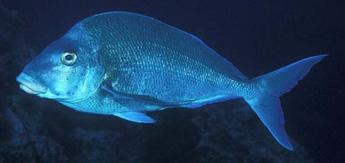 Blue Morwong | Nemadactylus douglasii photo