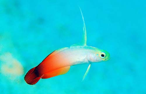 Fire Dartfish | Nemateleotris magnifica photo