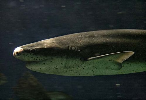 Broadnose Shark | Notorynchus cepedianus photo